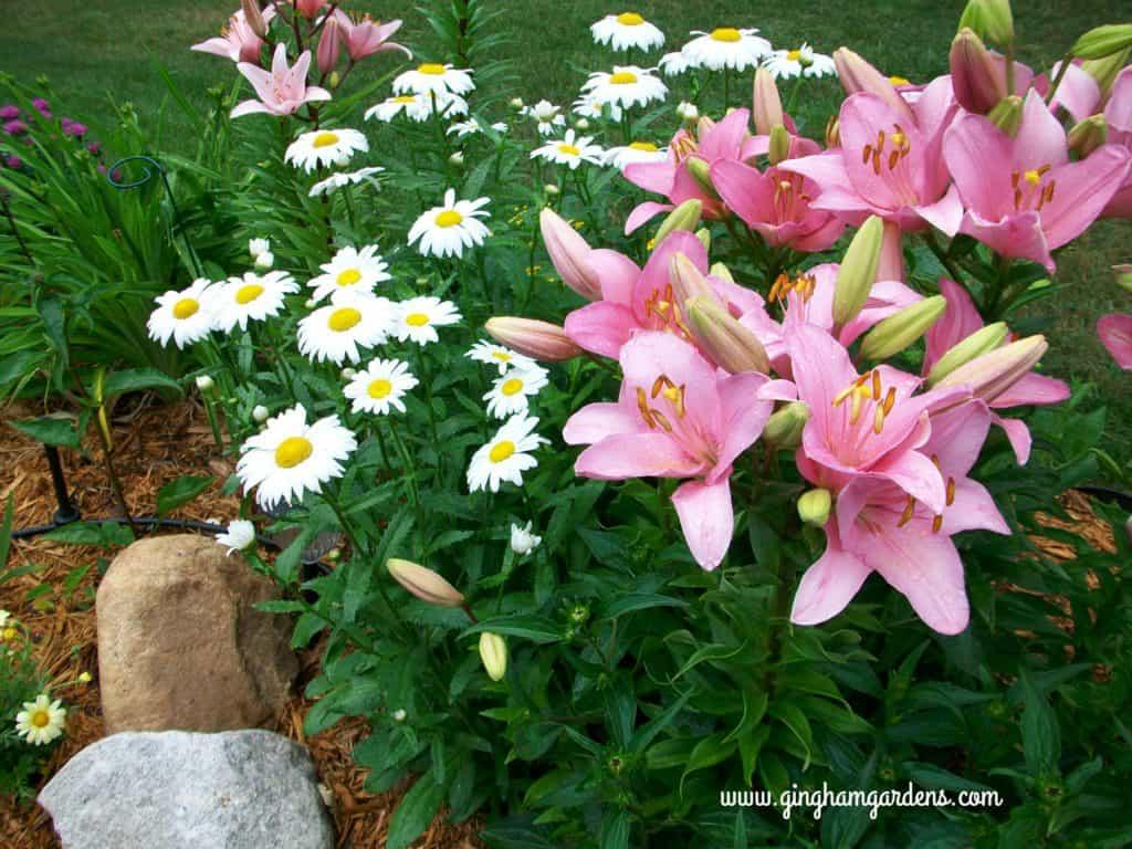 Perennials, Becky Shasta Daisies, Pink Asiatic Lilies, Elodie Lilies