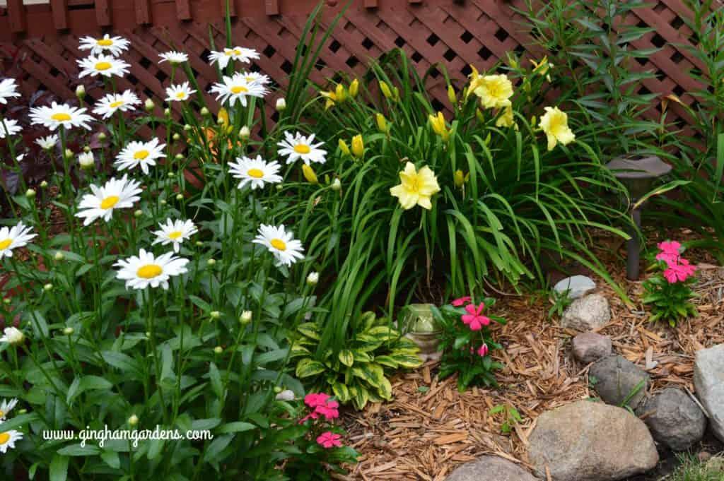 Shasta Daisies and Stella Supreme Daylily featured in a Zone 4 perennial garden.