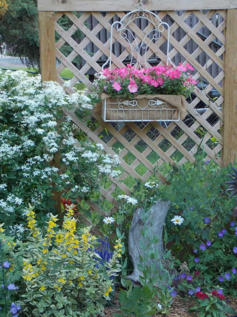 Silver Lace Vine, Pink Petunias, Lysimachia Alexander, Jolly Bee Geranium