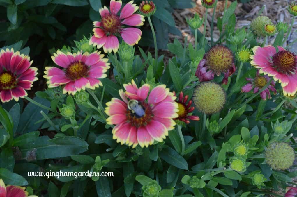 Best Perennials - Arizona Sun Gaillardia at Gingham Gardens