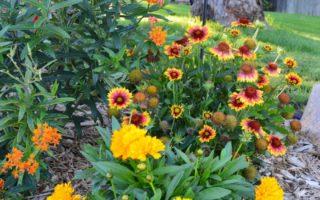 Garden Tour - Solanna Golden Sphere Coreopsis, Arizona Sun Gaillardia, Butterfly Bush