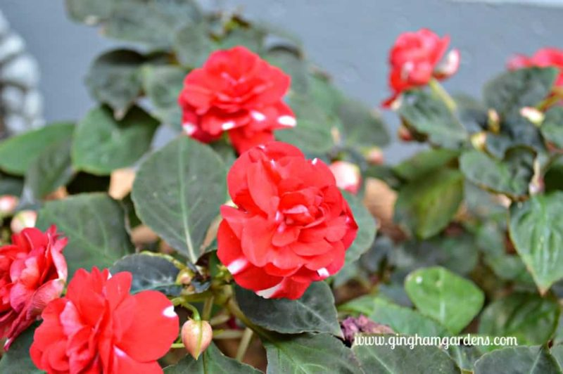 Double Impatiens - The Best Annual Flowers
