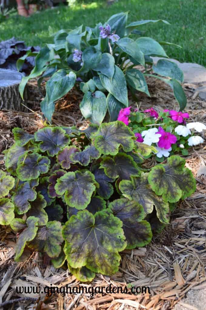 Best Perennials - Heucherella, foamy bells - Solar Eclipse