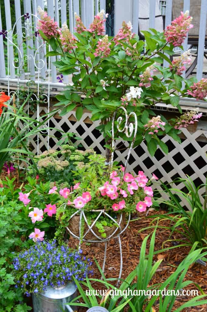 Garden Tour (Late Summer) - Pee Gee Hydrangea