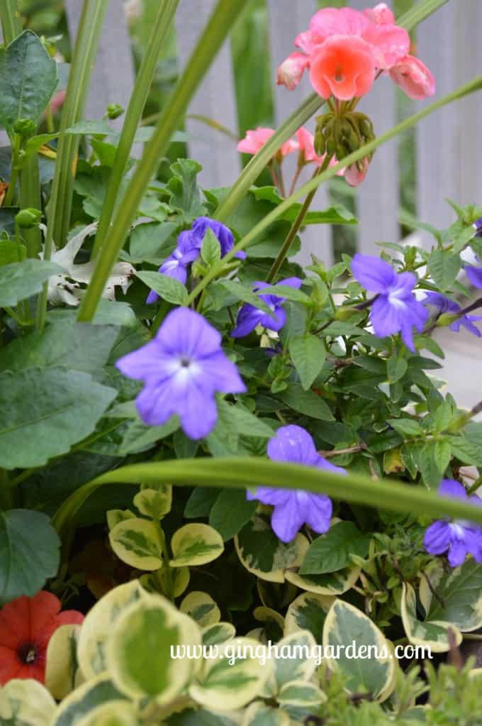 Garden Tour - Seed Geranium, Browalia, Vinca Vine