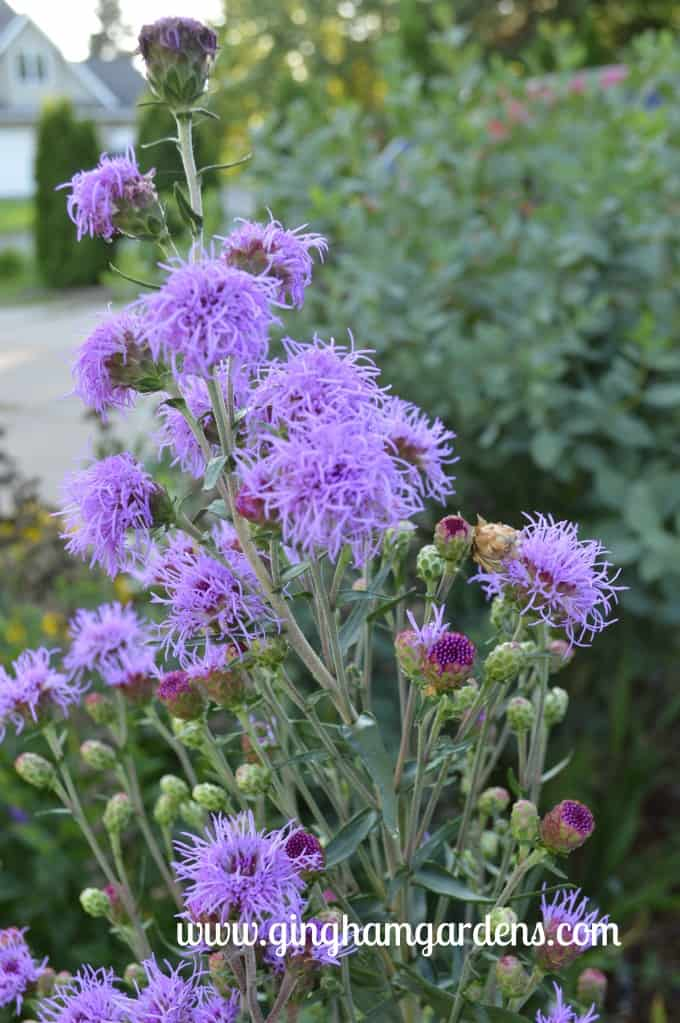 Garden Tour - Meadow Blazingstar Liatris