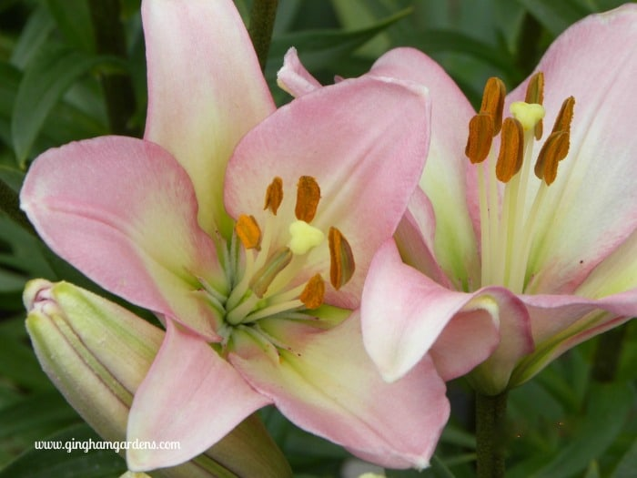 How To Grow And Maintain Lilies Gingham Gardens