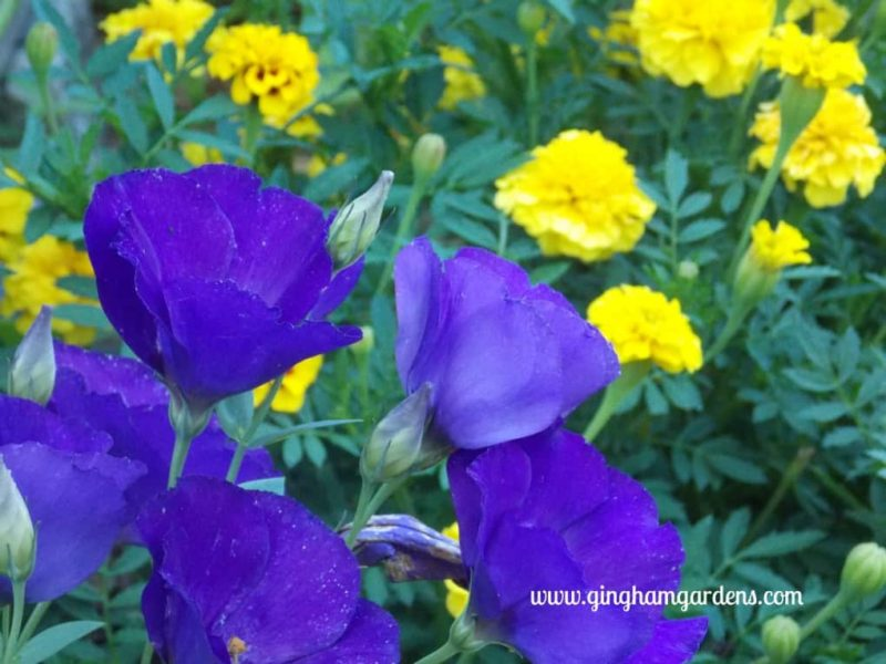 Lisianthus & Marigolds