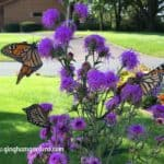 Monarch Butterflies on Meadow Blazingstar Liatris