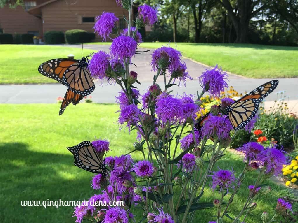 Monarch Butterflies on Meadow Blazingstar Liatris