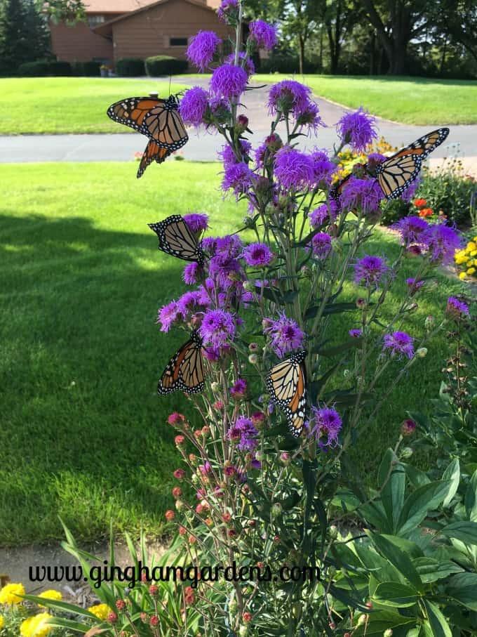 Best Perennials - Meadow Blazingstar Liatris