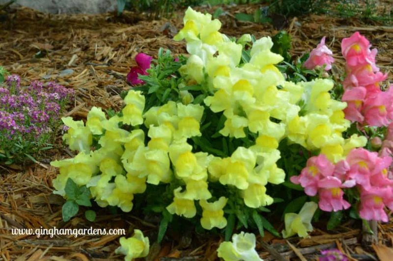 The Best Annual Flowers - Montego Snapdragons