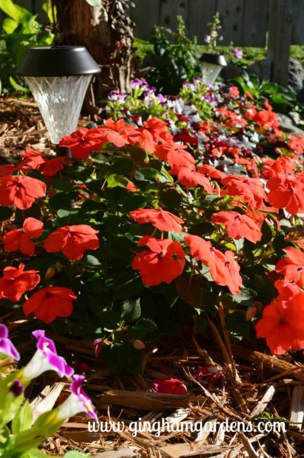 Orange Impatiens - The Best Annual Flowers