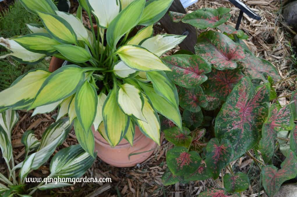 Orange Marmalade Hosta and Caladium