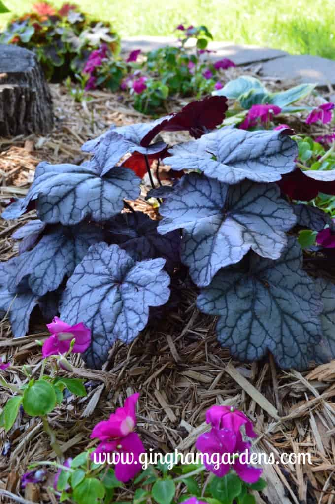 Heuchera, Sugar Plum Coral Bells