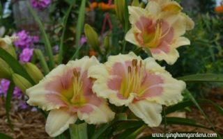 Daylily - When My Sweetheart Returns