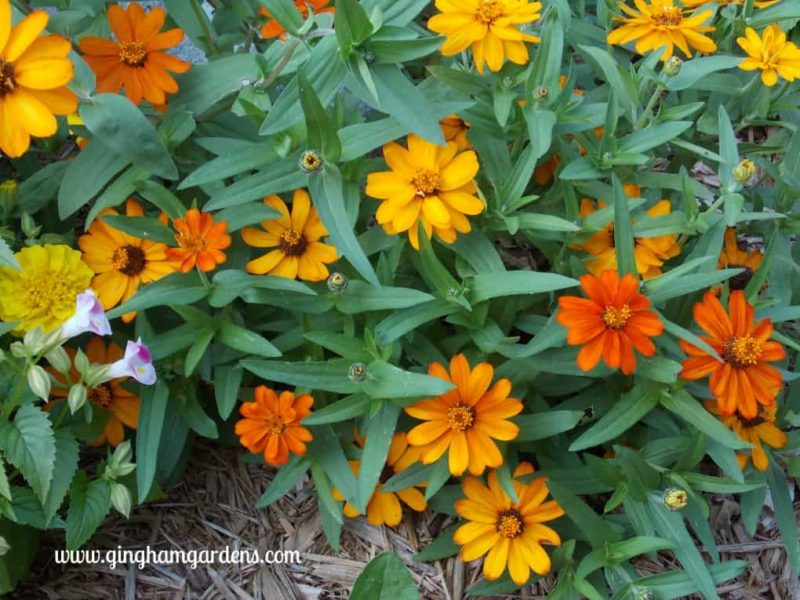 Pinwheel Zinnias - The Best Annual Flowers
