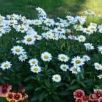 Best Perennials - Becky Shasta Daisies