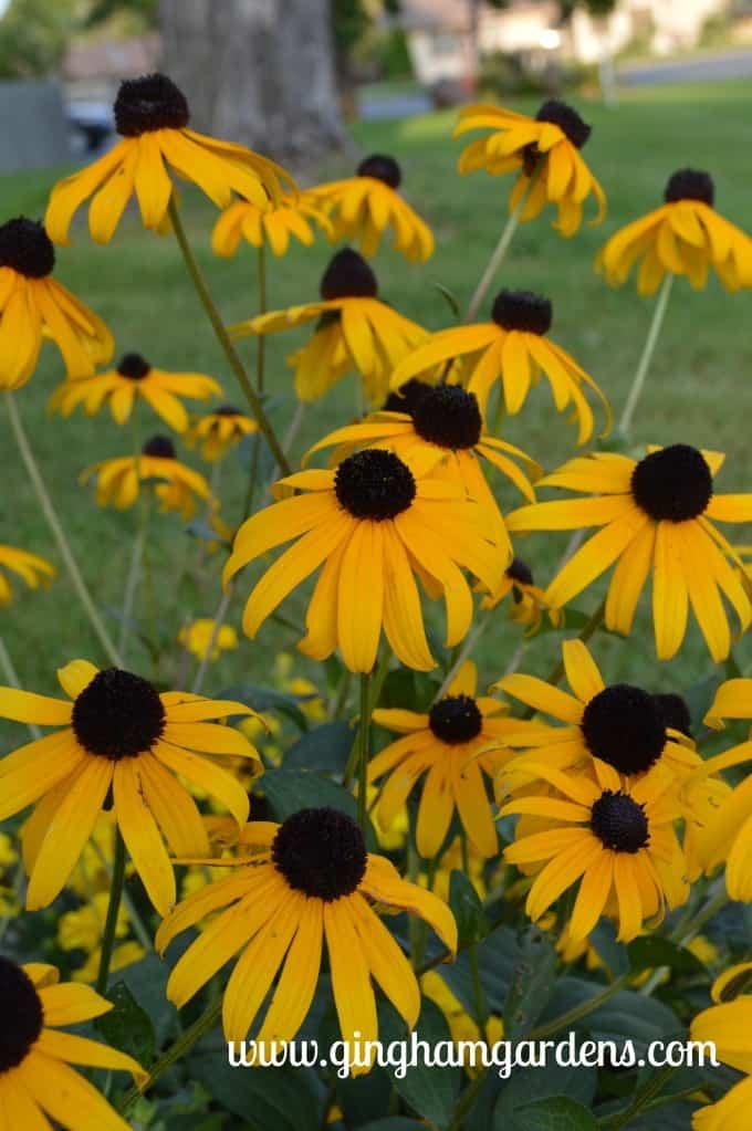 Best Perennials - Black-eyed Susan at Gingham Gardens