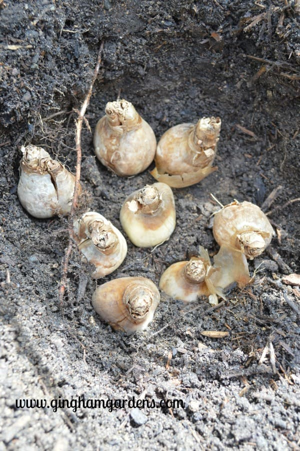 Planting Bulbs in the Fall for Amazing Spring Flowers
