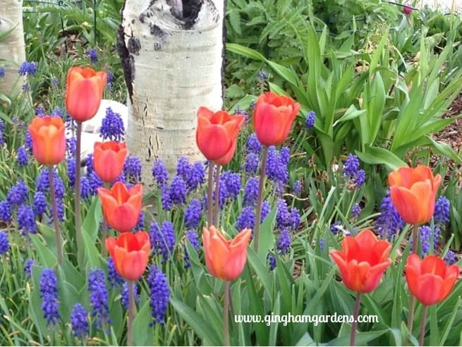 Tulips & Grape Hyacinths