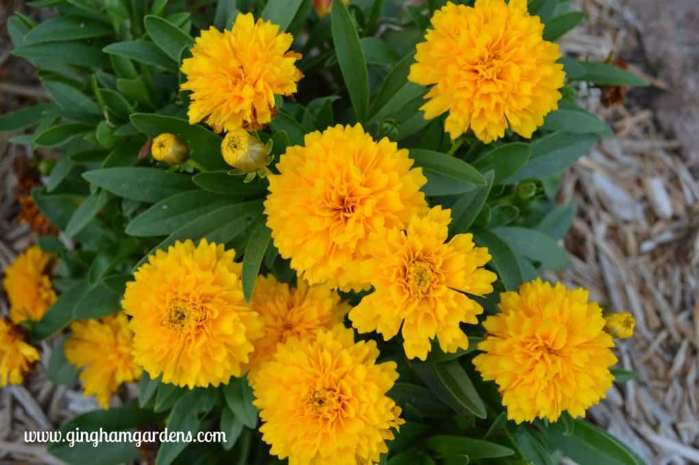 Best Perennials - Solanna Golden Sphere Coreopsis