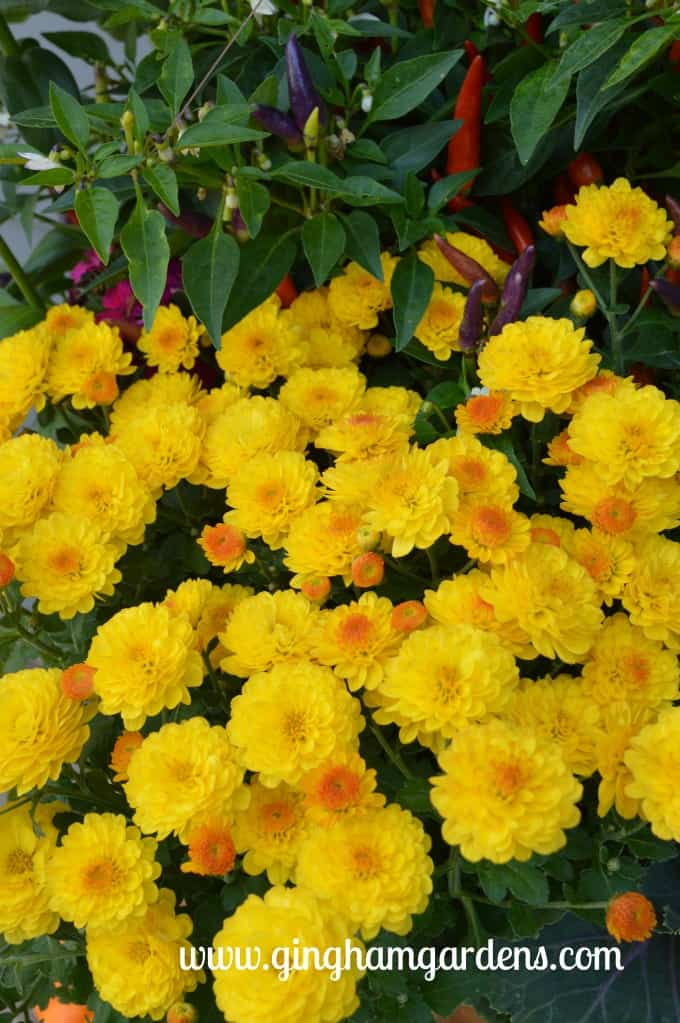 Tips For Keeping Mums Looking Great - Mum in full bloom.