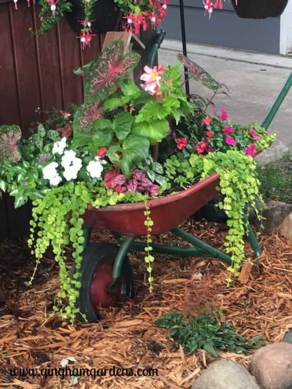 Old Wheelbarrow filled with creeping jenny, begonias, caladium, impatiens and ferns