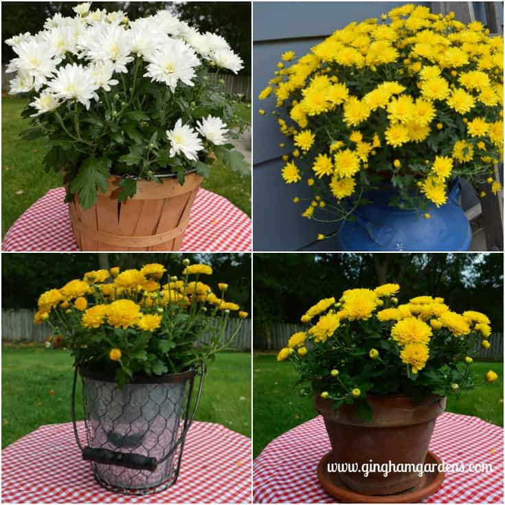 Tips For Keeping Potted Mums Looking Great