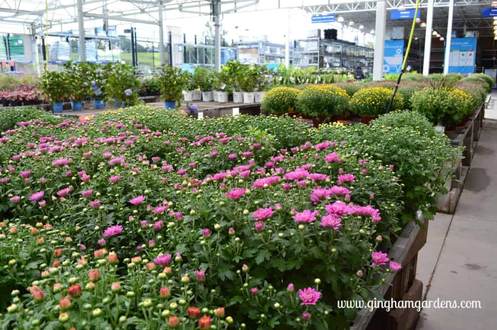 Tips For Keeping Mums Looking Great - Mums at Lowes