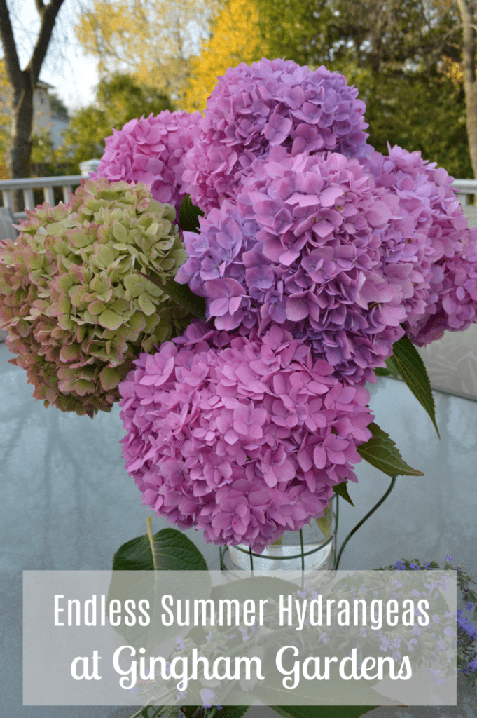 The last of the Endless Summer Hydrangeas at Gingham Gardens