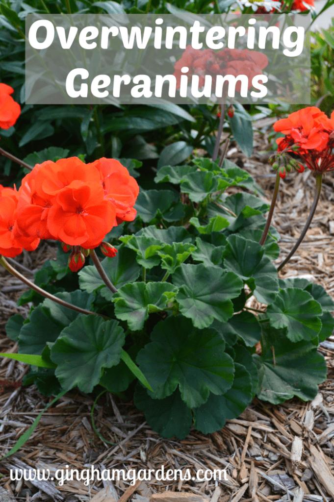Fall Gardening - Overwintering Geraniums