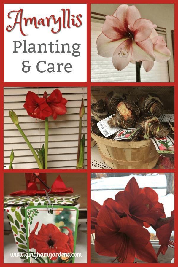Amaryllis Planting & Care