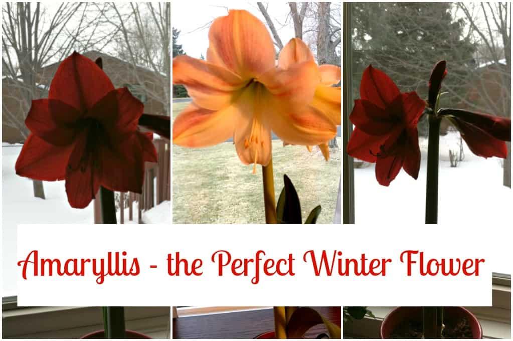 Amaryllis - The Perfect Winter Flower