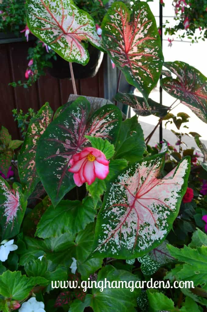 Caladium and Tuberous Begonia