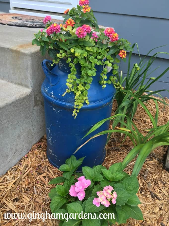 Vintage Milk Can Planter with Lantana and Creeping Jenny