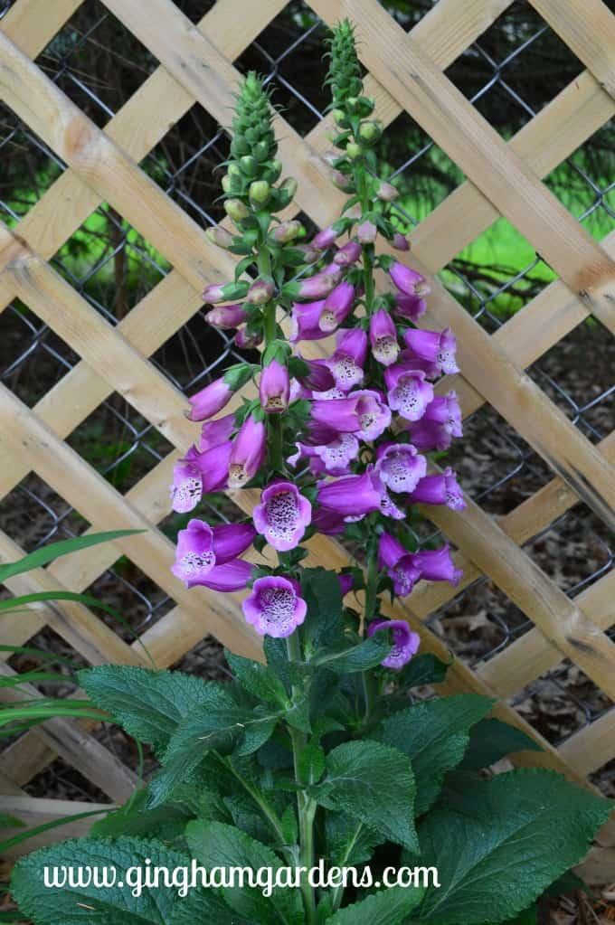 Foxglove in a Shade Garden