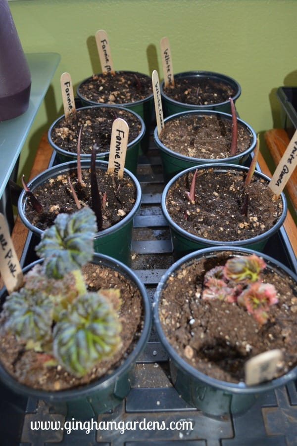 Begonia & Caladium - Starting Summer Bulbs Indoors