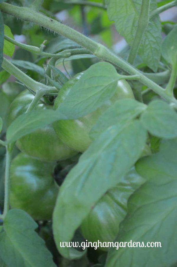 Green Tomatoes on the Vine - Vegetable Gardening 101