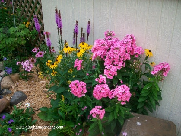 Liatris, Black-eyed Susan & Phlox in a Flower Garden