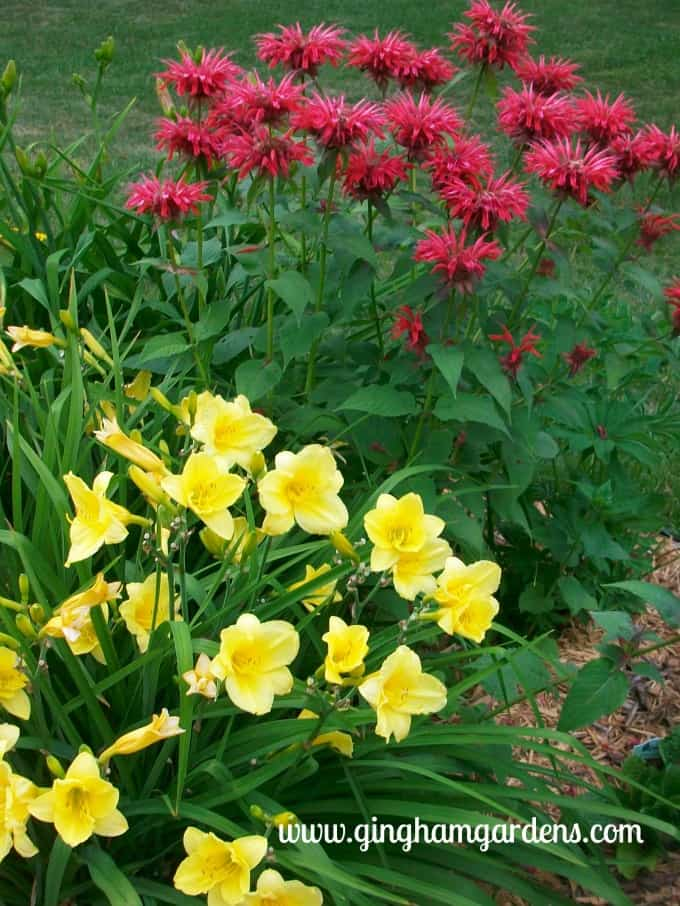 Happy Returns Daylilies & Jacob Kline Bee Balm | Flower Garden Design Tips