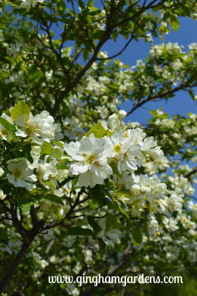 Springtime in the Gardens - Blooming Tree with White Flowers