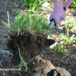 Tips for Transplanting Perennials