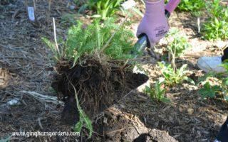 Tips for Transplanting Perennials