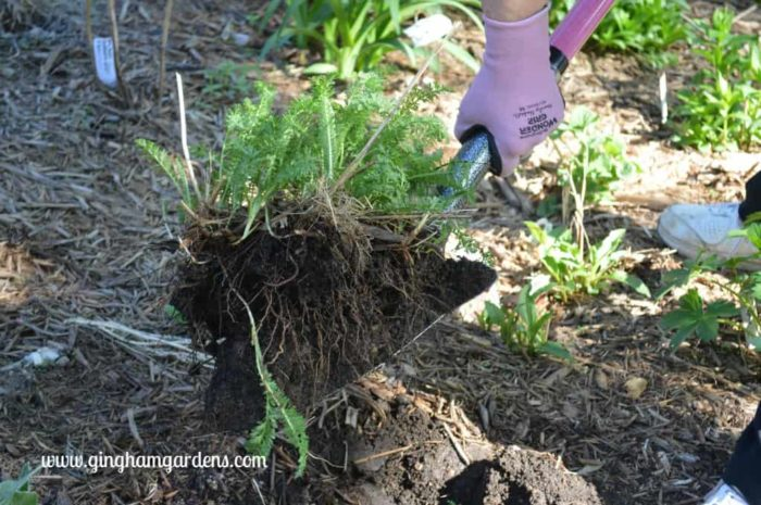 Gardener Transplanting a Perennial Plant