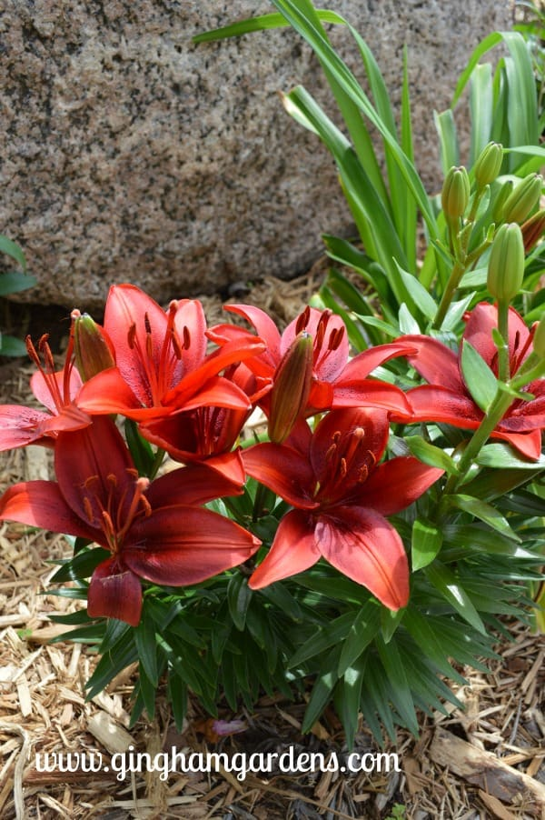 Deep Red Dwarf Red Asiatic Lilies