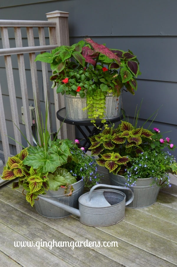 Vignette of shady plants in galvanized planters.