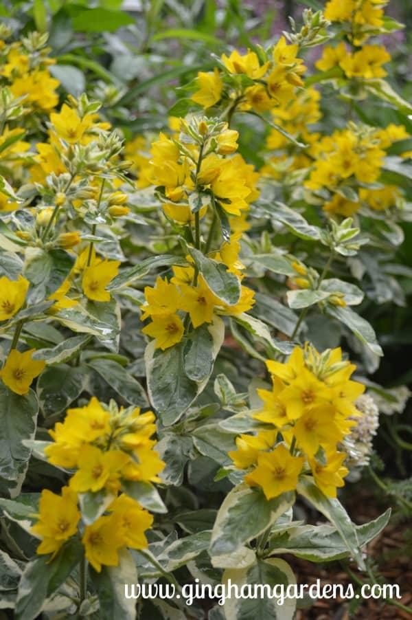 Yellow Variegated Yellow Loosestrife (Alexander Lysimachia)