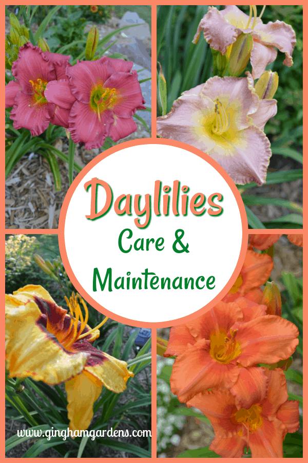 Daylilies Care & Maintenance