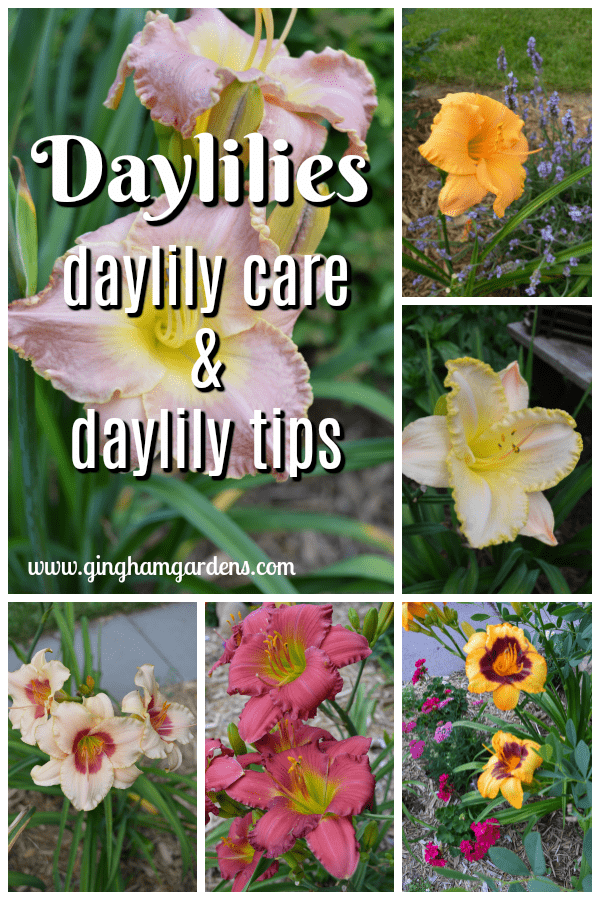 Tips on Growing Daylilies